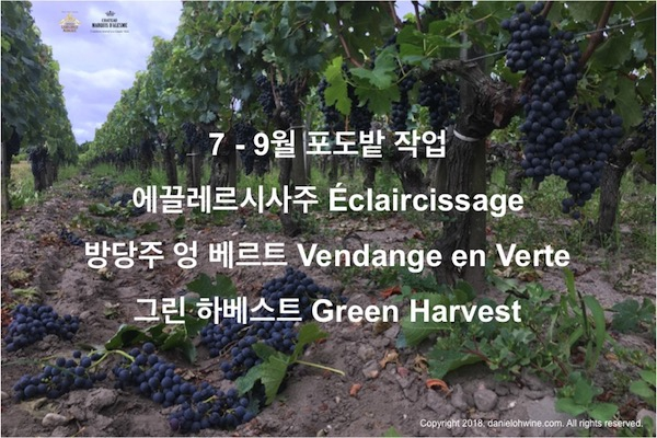 보르도, 마고 포도밭 생존일지 – 6. 그린 하베스트(Green Harvest), 에끌레르시사주(Éclaircissage) 혹은 방당주 베르트(Vendange Verte)
